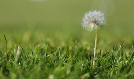 Dandelion in the grass royalty free stock photos