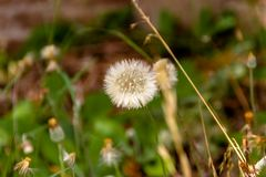 Wild dandelion herbs with rustic bricks background royalty free stock images