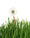 Dandelion in grass. Dandelion seedhead in green grass isolated on white background stock photography