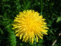 Dandelion among grass shot with a green filter. Closeup Stock Image