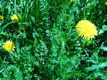Dandelion among grass shot with a green filter. Closeup Royalty Free Stock Photography