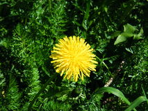 Dandelion among grass shot with a green filter. Closeup Stock Photography