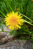 Dandelion in the grass. Spring dandelion in the grass royalty free stock image