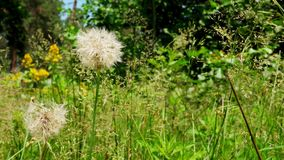 Dandelion and grass in the summer forest. The Dandelion and grass in the summer forest stock video footage
