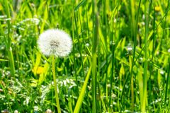 Dandelion in the grass on a sunny summer day royalty free stock photography