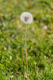 Dandelion on grass with text space. Portrait of one dandelion in the foreground over a field background of blurred green grass with copy space and nobody. The Stock Photo