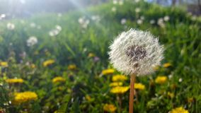 Dandelion in grass. Weed problemin grass.  Lawn care Stock Images