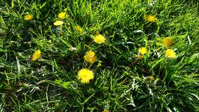 Dandelion in grass. Weed problemin grass.  Lawn care Royalty Free Stock Photography