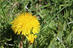 Dandelion in the grass yellow. The dandelion was shot near a village in Bulgaria royalty free stock photo