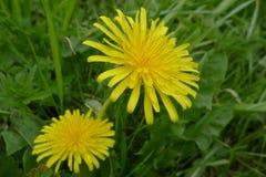 Dandelion in grassland Stock Images