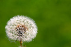 Dandelion on grassy background Stock Photos