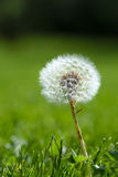 Dandelion on grassy background Royalty Free Stock Photo
