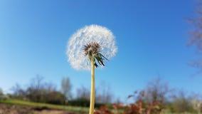 Dandelion in sky. Dandelion in gray ,raining sky royalty free stock image