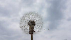 Dandelion in sky. Dandelion in gray ,raining sky royalty free stock photo