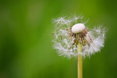 Dandelion on a great green background in a sunny day.  Stock Image