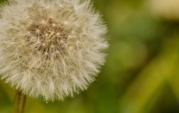 Dandelion. A great picture of a dandelion, ideal for backgrounds and postcards...etc Royalty Free Stock Image