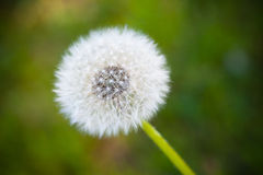 Dandelion on green Stock Images
