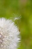 Dandelion on green backgoud Royalty Free Stock Images