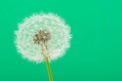 Dandelion on a green background Stock Photos