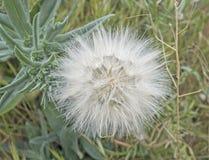 Dandelion on green background Stock Images