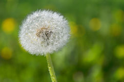 Dandelion on a green background Royalty Free Stock Images