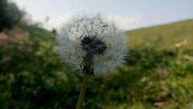 Dandelion with green background stock photography