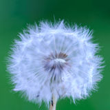 Dandelion on green background Stock Photo