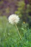 Dandelion. Only Dandelion green background in the field Royalty Free Stock Images