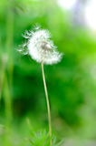 Dandelion on a green background Stock Photo