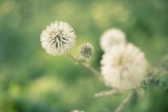 Dandelion on a green background stock images