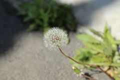 Dandelion on green background in Japan royalty free stock photos