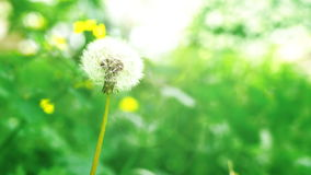 Dandelion on green background. Sunny day. Close view stock video