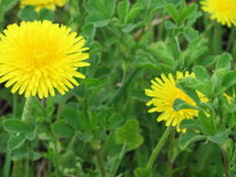Dandelion. On green background yellow dandelion.Dandelion appears in early spring and is one of a very small number of plants, which are able to start flowering royalty free stock image