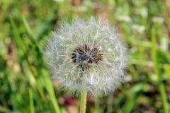 Dandelion on green backgrownd Royalty Free Stock Images