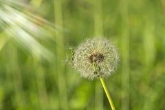Dandelion in a green field royalty free stock image