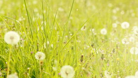 Dandelion in a green field. slide from left to right. dust partical and color edit. stock video