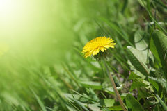 dandelion in green grass Royalty Free Stock Photo