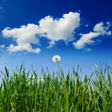 Dandelion in green grass Stock Photography