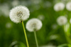 Dandelion on green grass background Stock Photography