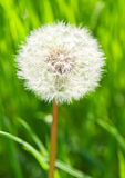 Dandelion on green grass Royalty Free Stock Images