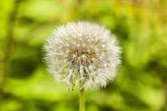 Dandelion on green grass background Royalty Free Stock Photos