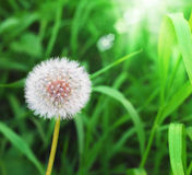 Dandelion on green grass background. Fluffy dandelion on green grass background Royalty Free Stock Photography