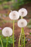 Dandelion on green grass background Stock Image
