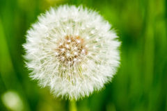 Dandelion. On green grass bokeh background close-up royalty free stock images