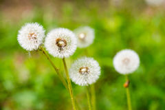 Dandelion. On green grass bokeh background close-up royalty free stock photo
