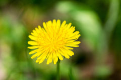 Dandelion. On green grass bokeh background close-up stock images