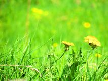 Dandelion in green grass stock photo