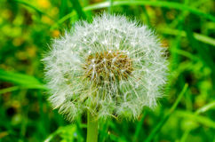 Dandelion, green grass field Stock Image