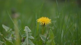 Dandelion in the green grass. Flower a dandelion in the Park. Green grass in the wind stock video