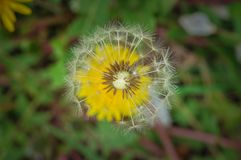 Dandelion in green grass in nature.Flower. Dandelion in green grass in nature plant summer bright flower spring softness wind seed meadow background life royalty free stock image
